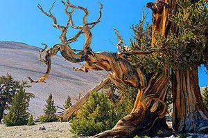 Ancient Bristlecone Pine