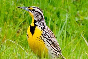 Western Meadowlark closeup