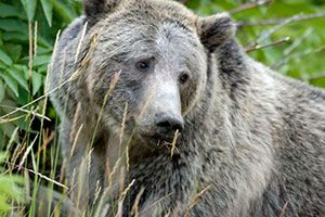 Grizzly Bear closeup in Yellowstone